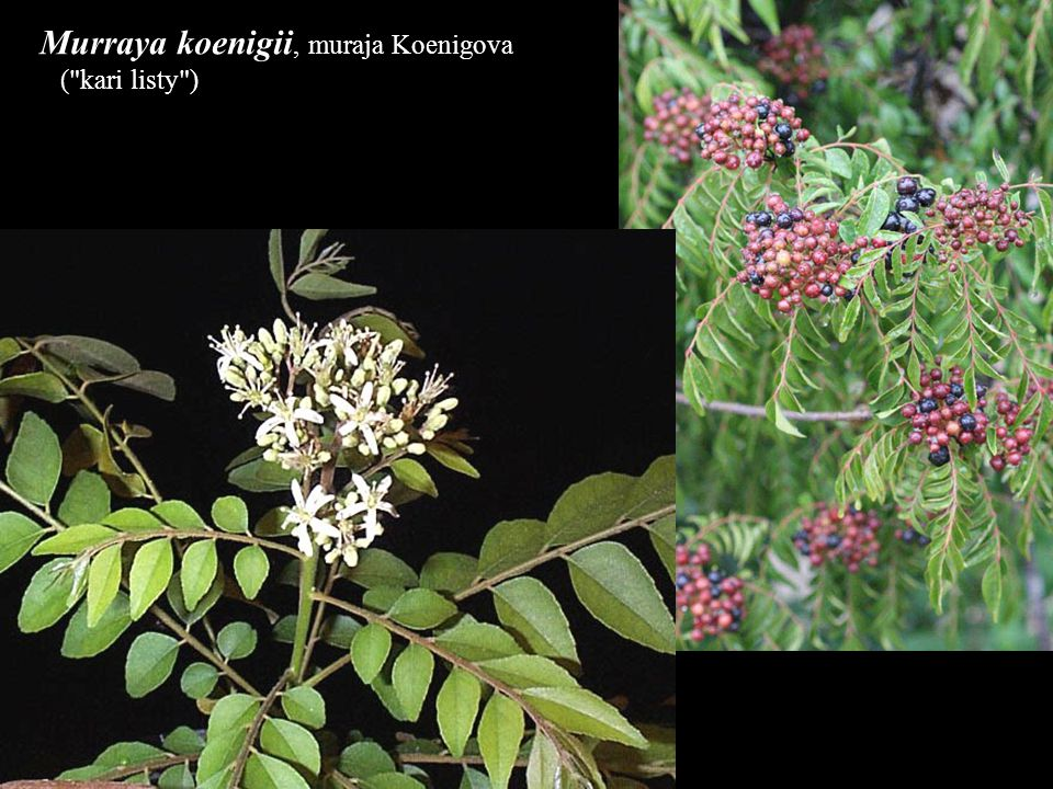 Murraya koenigii, muraja Koenigova (