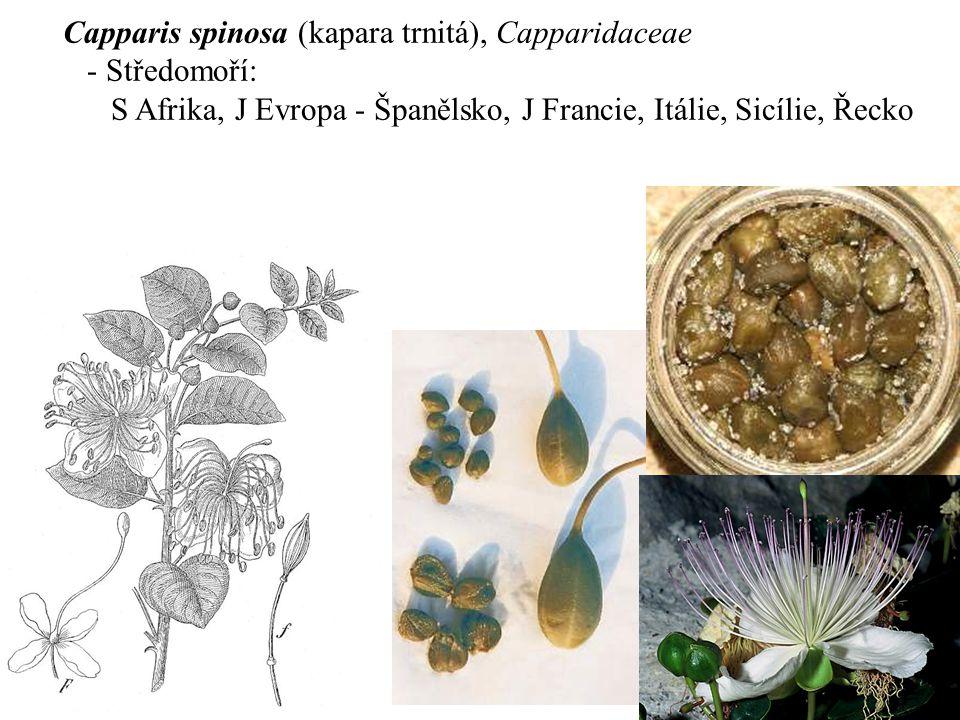 Capparis spinosa (kapara trnitá), Capparidaceae - Středomoří: S Afrika, J Evropa - Španělsko, J Francie, Itálie, Sicílie, Řecko