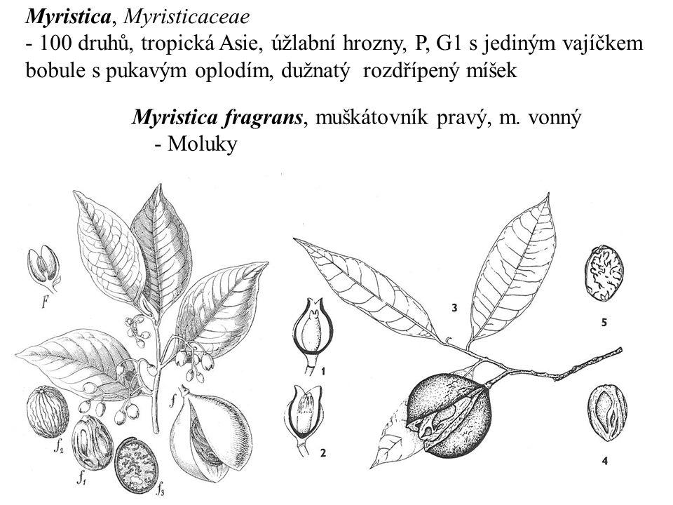 Myristica, Myristicaceae - 100 druhů, tropická Asie, úžlabní hrozny, P, G1 s jediným vajíčkem bobule s pukavým oplodím, dužnatý rozdřípený míšek Myris