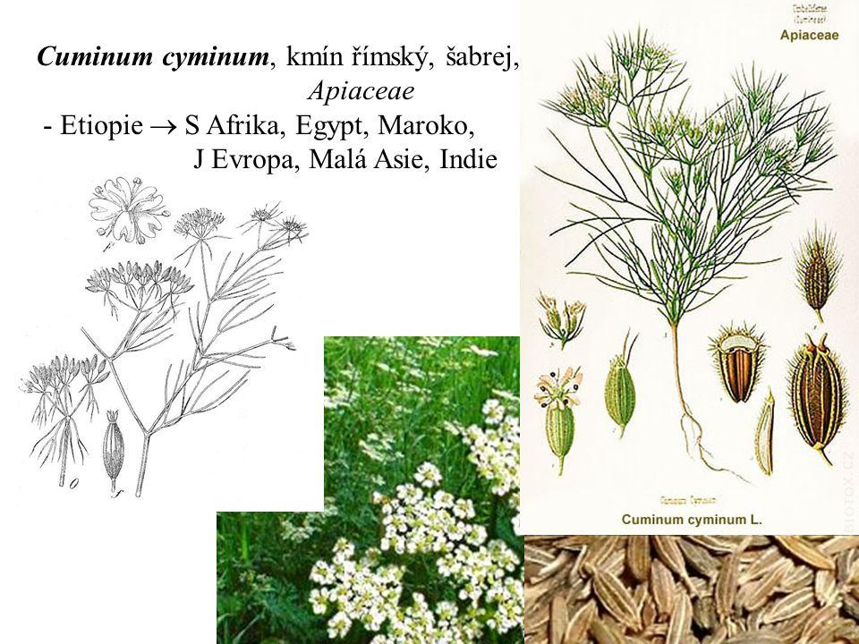 Cuminum cyminum, kmín římský, šabrej, Apiaceae - Etiopie  S Afrika, Egypt, Maroko, J Evropa, Malá Asie, Indie