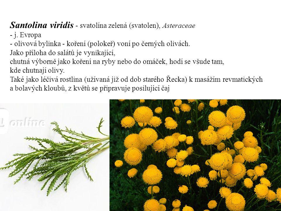 Santolina viridis - svatolína zelená (svatolen), Asteraceae - j. Evropa - olivová bylinka - koření (polokeř) voní po černých olivách. Jako příloha do