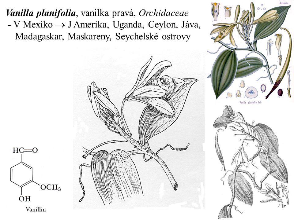 Vanilla planifolia, vanilka pravá, Orchidaceae - V Mexiko  J Amerika, Uganda, Ceylon, Jáva, Madagaskar, Maskareny, Seychelské ostrovy