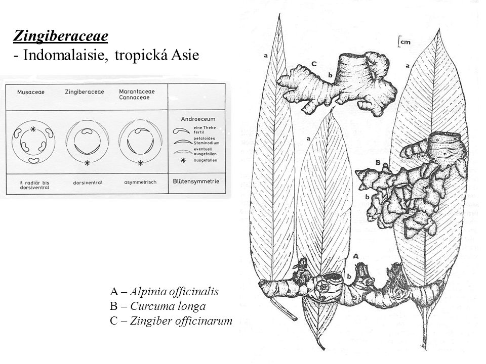 Zingiberaceae - Indomalaisie, tropická Asie A – Alpinia officinalis B – Curcuma longa C – Zingiber officinarum