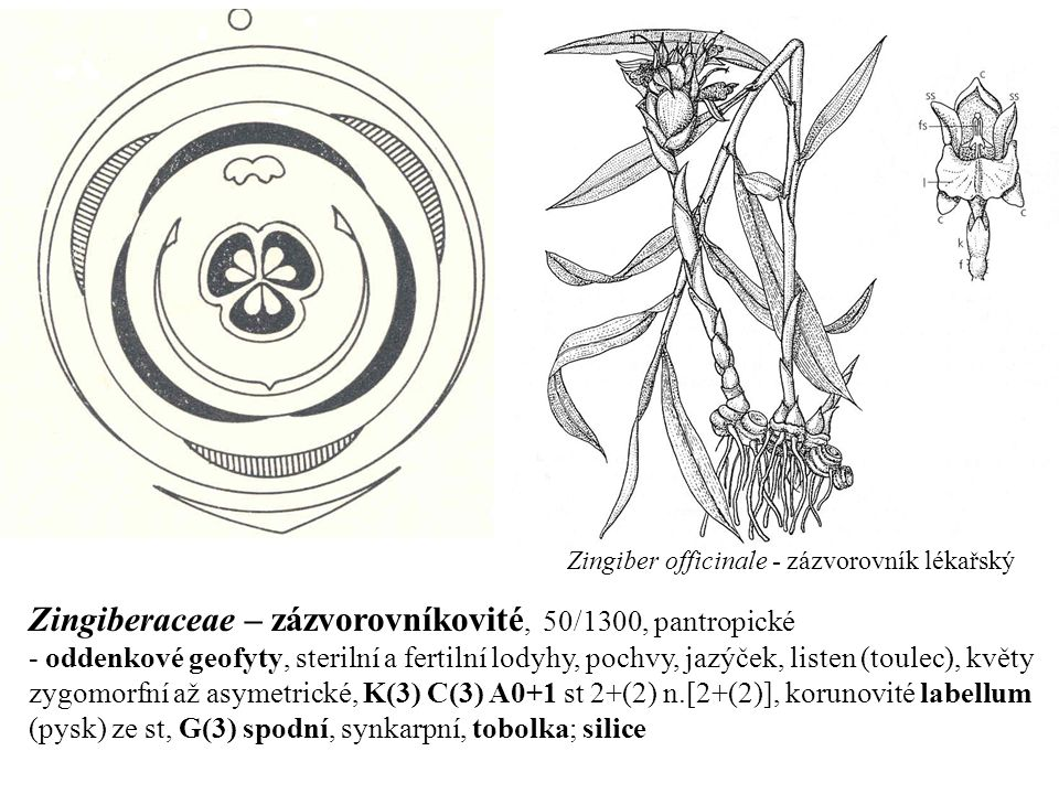 Zingiberaceae – zázvorovníkovité, 50/1300, pantropické - oddenkové geofyty, sterilní a fertilní lodyhy, pochvy, jazýček, listen (toulec), květy zygomo