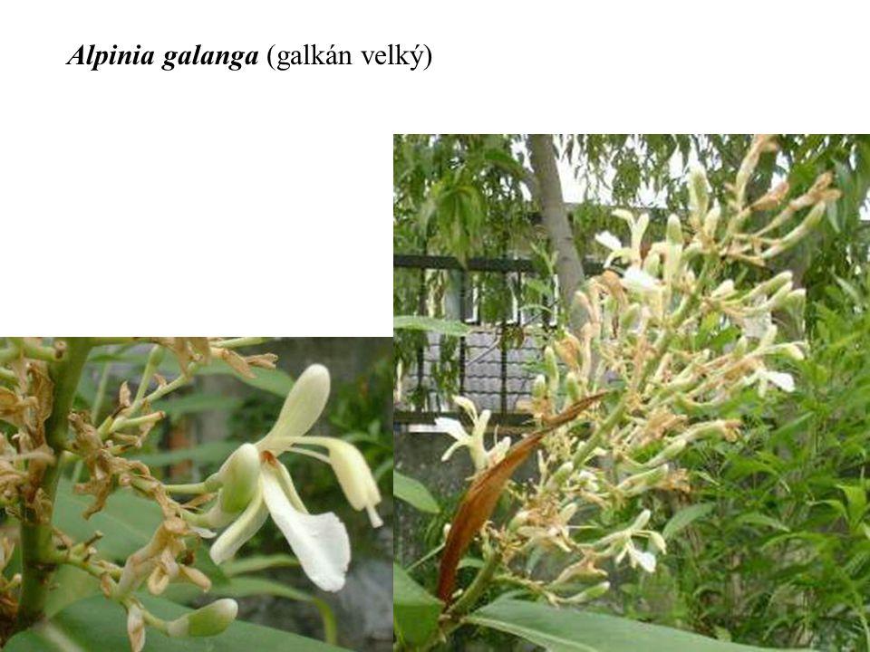 Alpinia galanga (galkán velký)