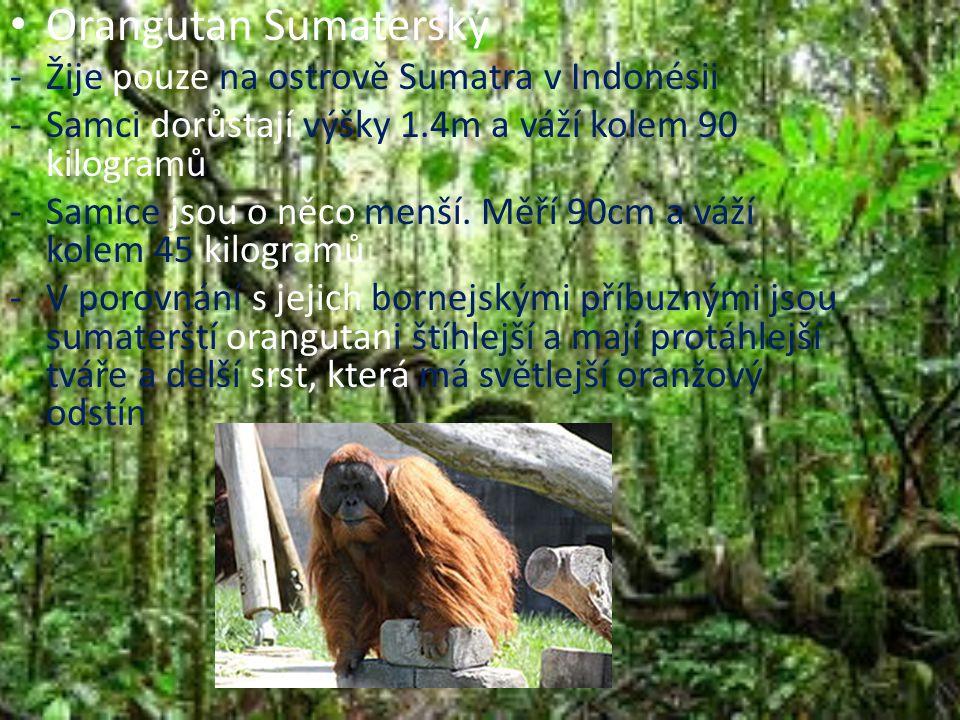 Orangutan Sumaterský -Žije pouze na ostrově Sumatra v Indonésii -Samci dorůstají výšky 1.4m a váží kolem 90 kilogramů -Samice jsou o něco menší. Měří