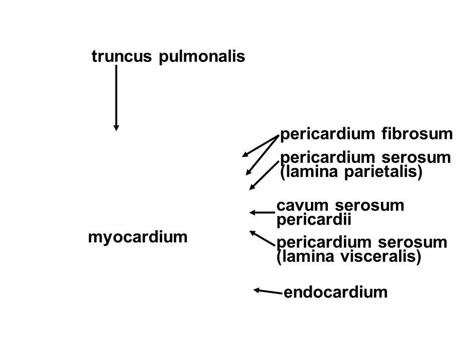 pericardium fibrosum pericardium serosum (lamina parietalis) pericardium serosum (lamina visceralis) cavum serosum pericardii myocardium endocardium t