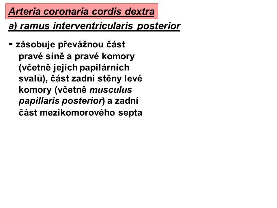 - zásobuje převážnou část pravé síně a pravé komory (včetně jejích papilárních svalů), část zadní stěny levé komory (včetně musculus papillaris poster