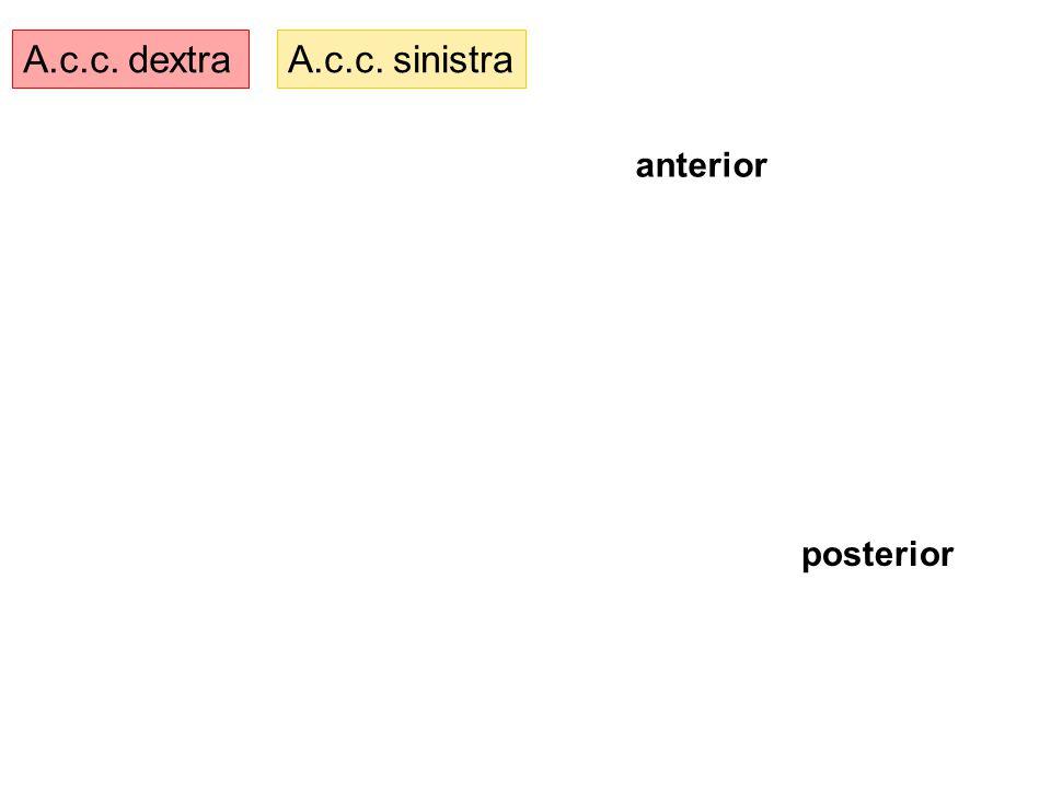 A.c.c. dextraA.c.c. sinistra anterior posterior