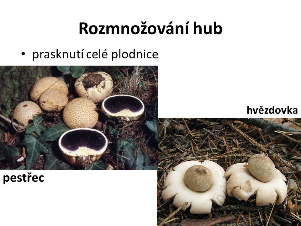 Rozmnožování hub prasknutí celé plodnice hvězdovka pestřec