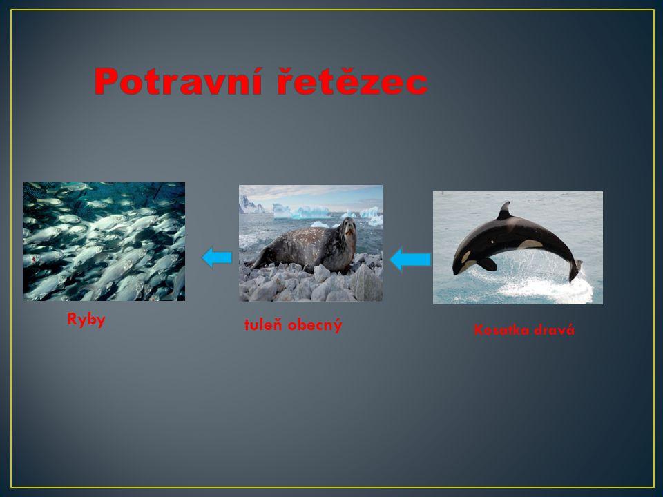 Ryby tuleň obecný Kosatka dravá