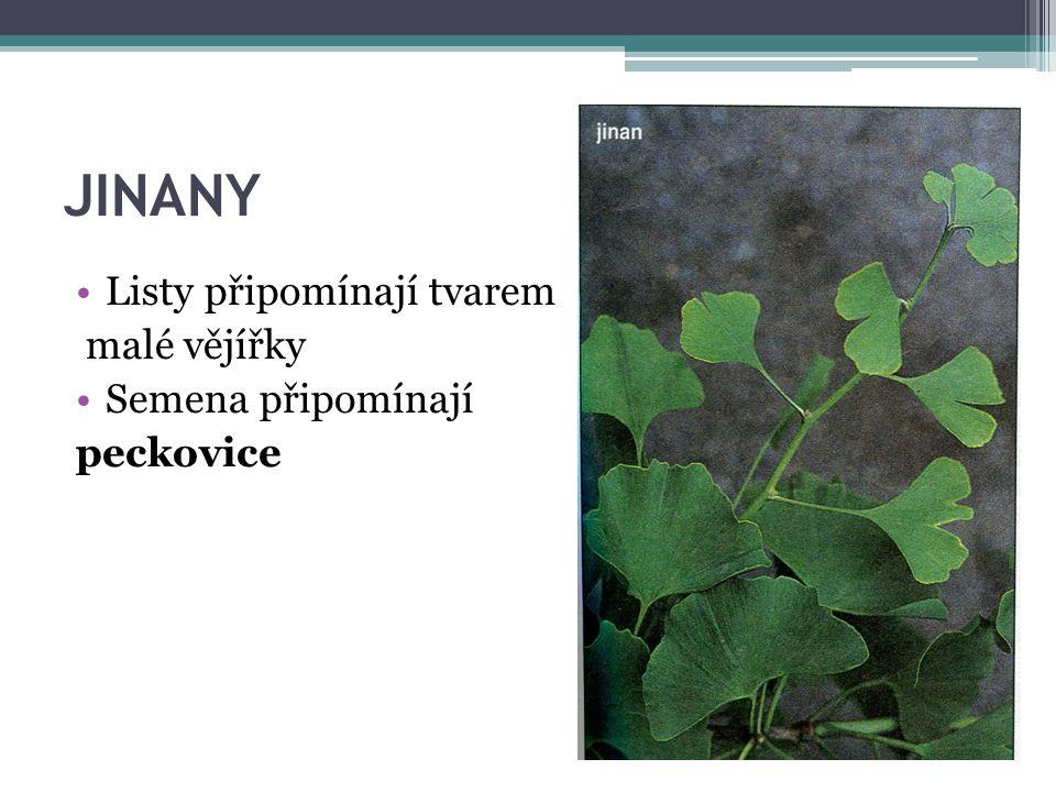 JINANY Listy připomínají tvarem malé vějířky Semena připomínají peckovice