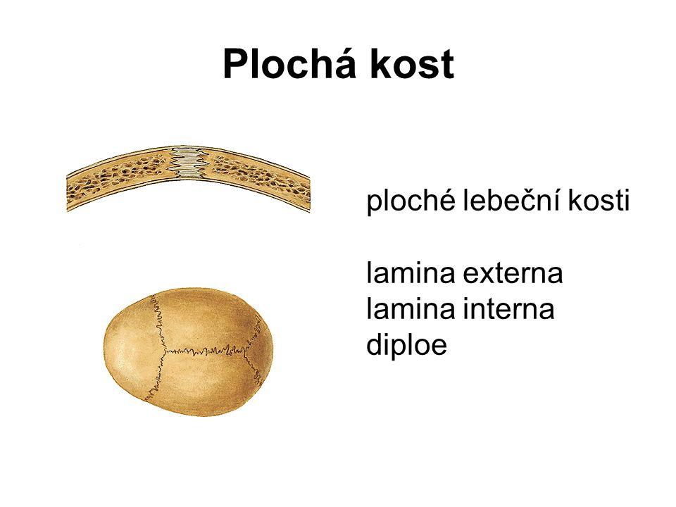 Krátká kost fibrilární (vláknitá) kost tenká povrchová vrstvička kompakty hustá trámčina (spongióza) podélný řez kostí patní