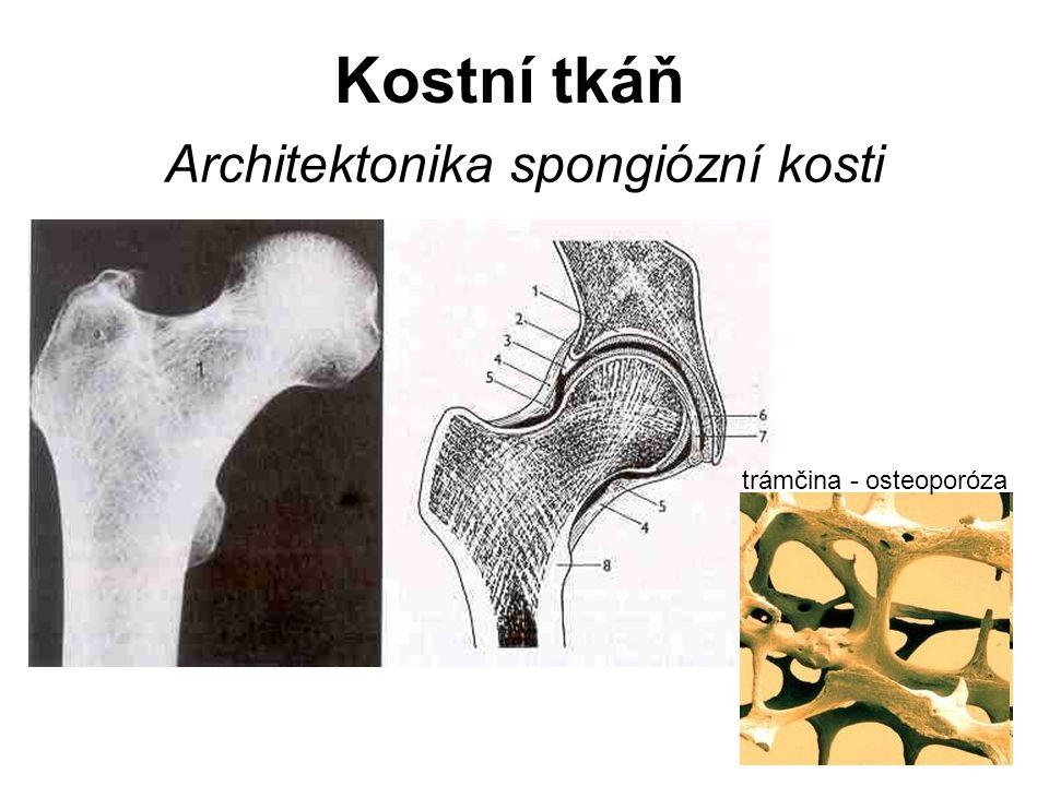 Kostní d ř e ň = medulla ossium medulla ossium rubra červená kostní dřeň – hematopoéza medulla ossium flava žlutá kostní dřeň medulla ossium grisea šedá kostní dřeň
