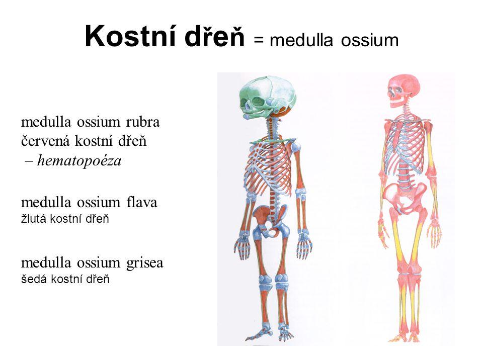 Periosteum Periosteum = okostice periost endost bohatá senzitivní inervace - bolí!!!