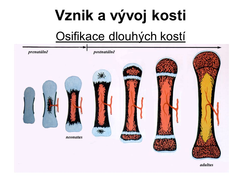 A) Růst kosti do délky epifyzární ploténka přestavba kostní tkáně rozdílná aktivita proximální a distální epifizární ploténky charakteristický směr vstupu a.