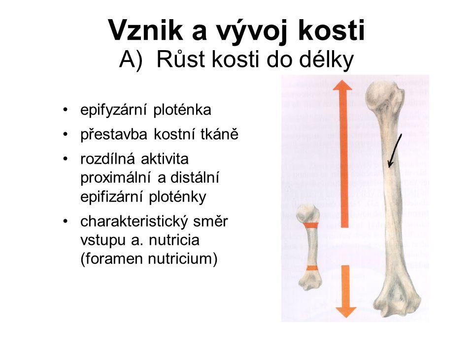 B) Růst kosti do tloušťky princip apozice a resorpce Vznik a vývoj kosti