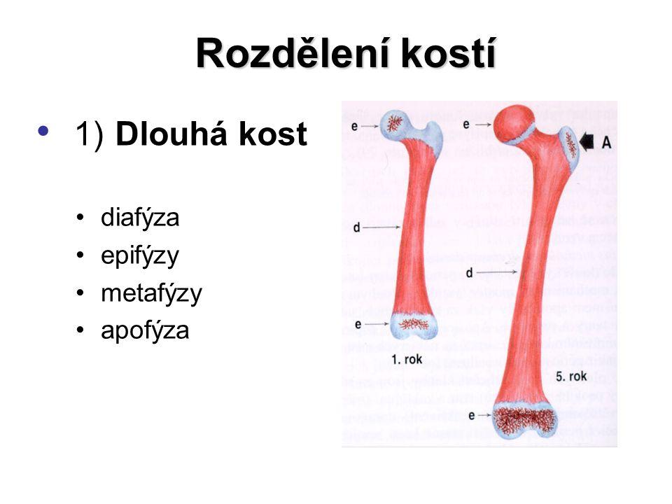 2) Krátká kost 2) Krátká kost 3) Plochá kost Rozdělení kostí
