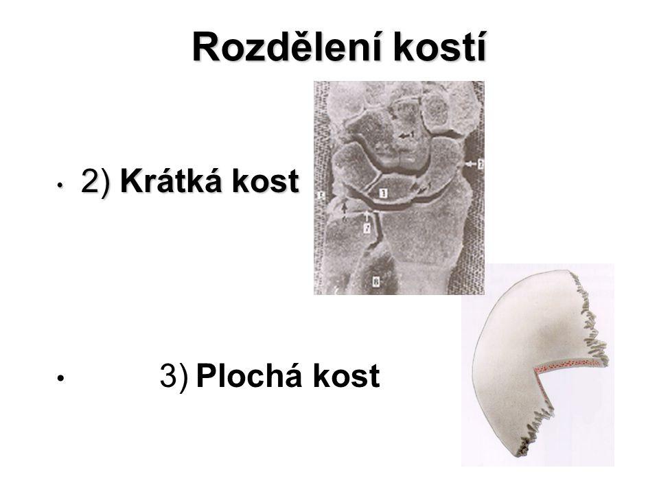 Kostní buňky Osteoblasty Osteocyty Osteoklasty
