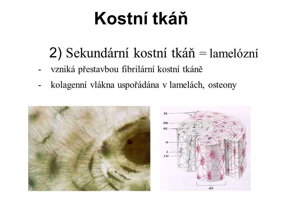 Haversovy lamely - izotropní x anizotropní vrstvy Obvodové lamely Intersticiální lamely Kostní tkáň