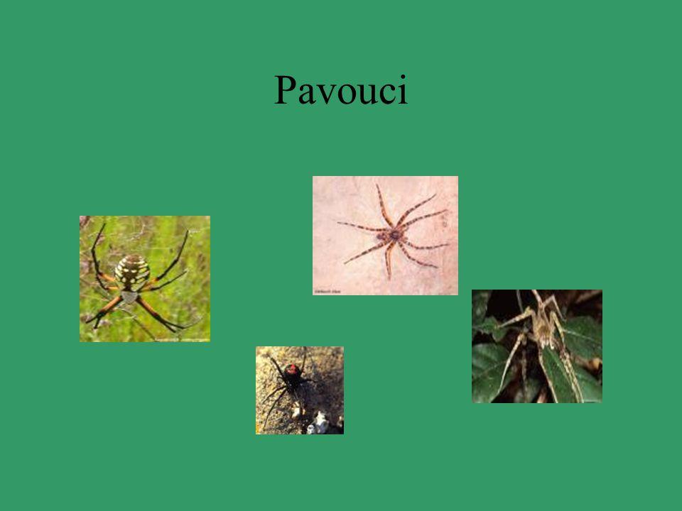 Sklípkan Tropický druh 5-10cm Nestaví pavučiny