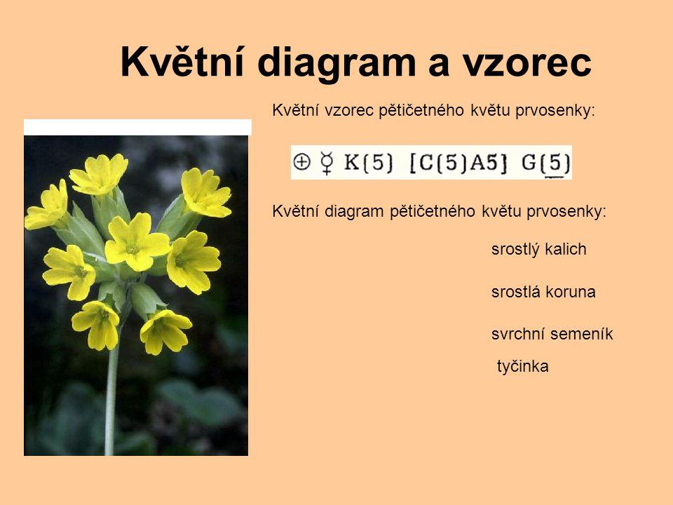 Květní vzorec pětičetného květu prvosenky: Květní diagram pětičetného květu prvosenky: srostlý kalich srostlá koruna svrchní semeník tyčinka Květní diagram a vzorec