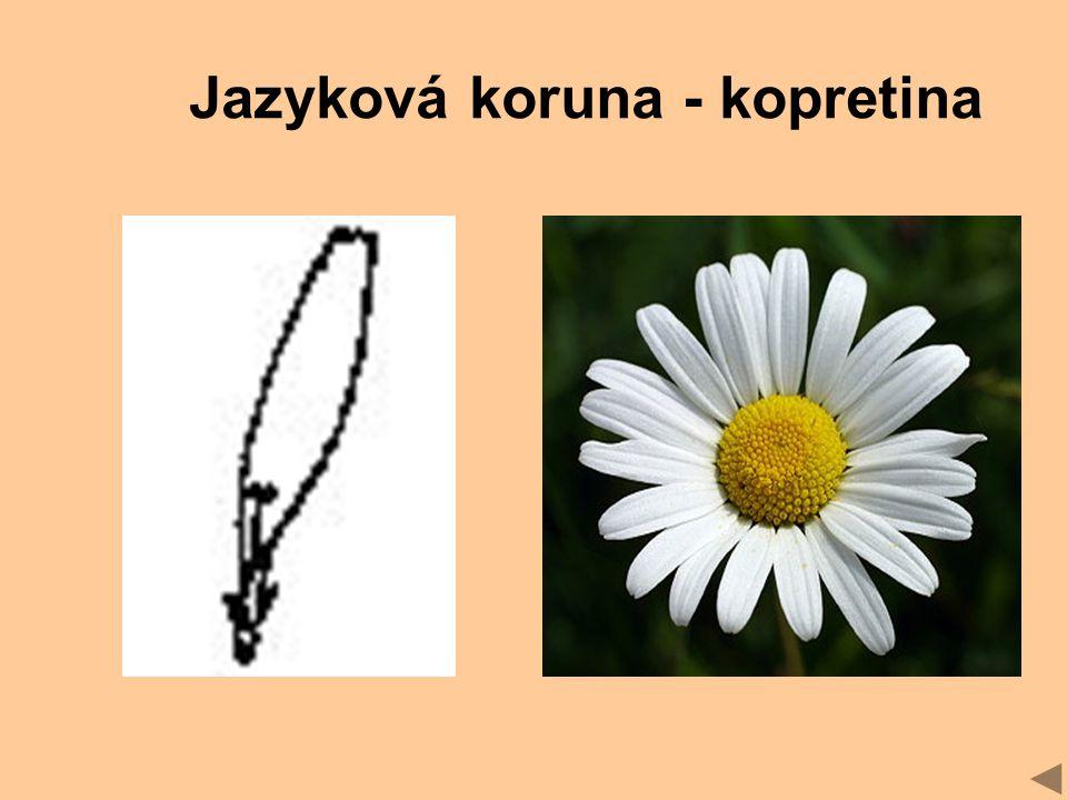 Jazyková koruna - kopretina