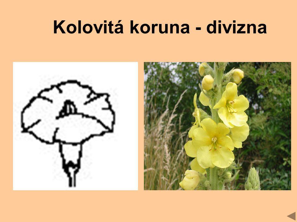 Kolovitá koruna - divizna