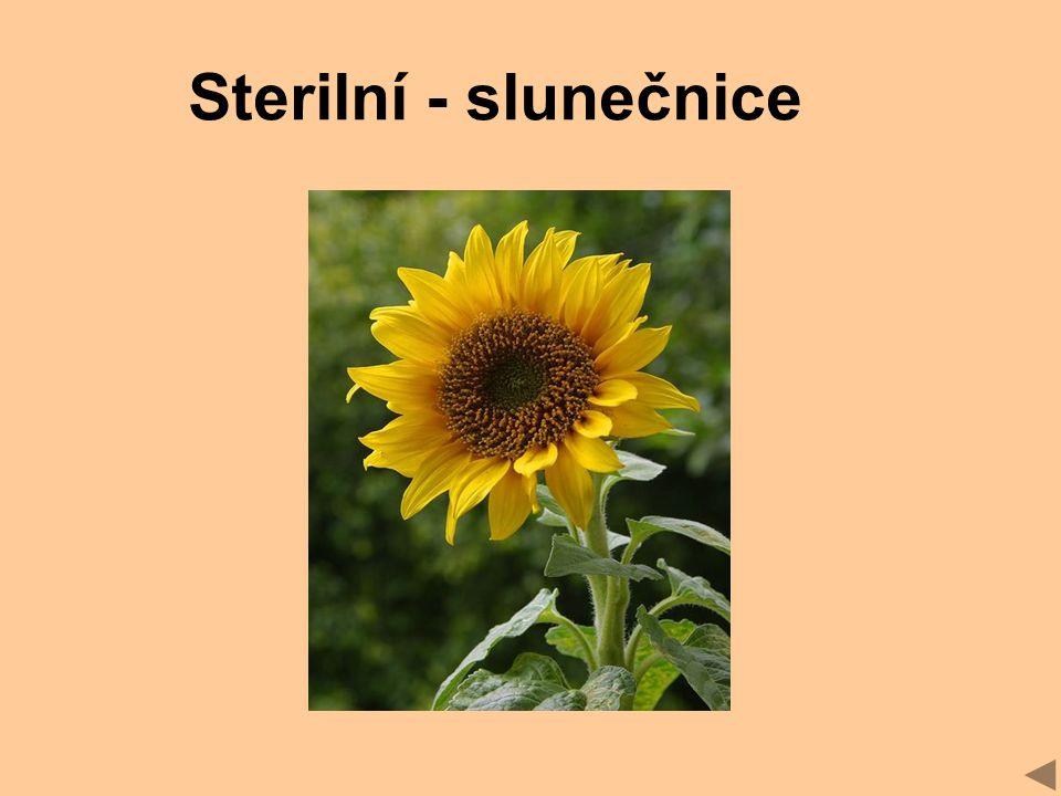 Sterilní - slunečnice