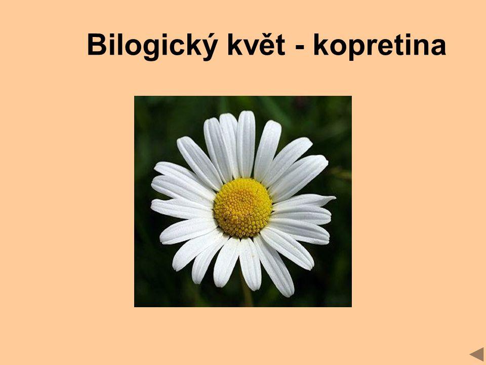 Bilogický květ - kopretina