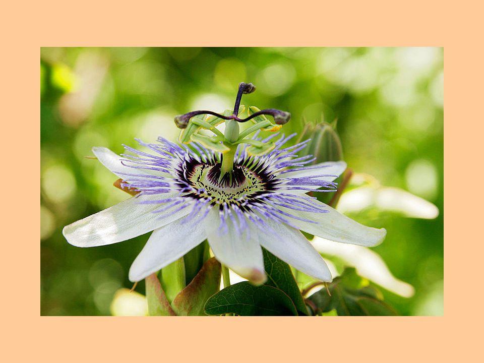 Květní lůžko ➢ Zkrácený a rozšířený květní stonek