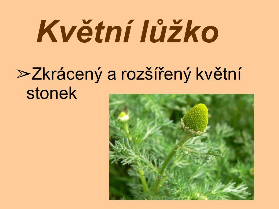 ➢ Vytrvalá rostlina ➢ za květu 15 až 35 cm Lodyha nese bledě zelené šupinovité listy.