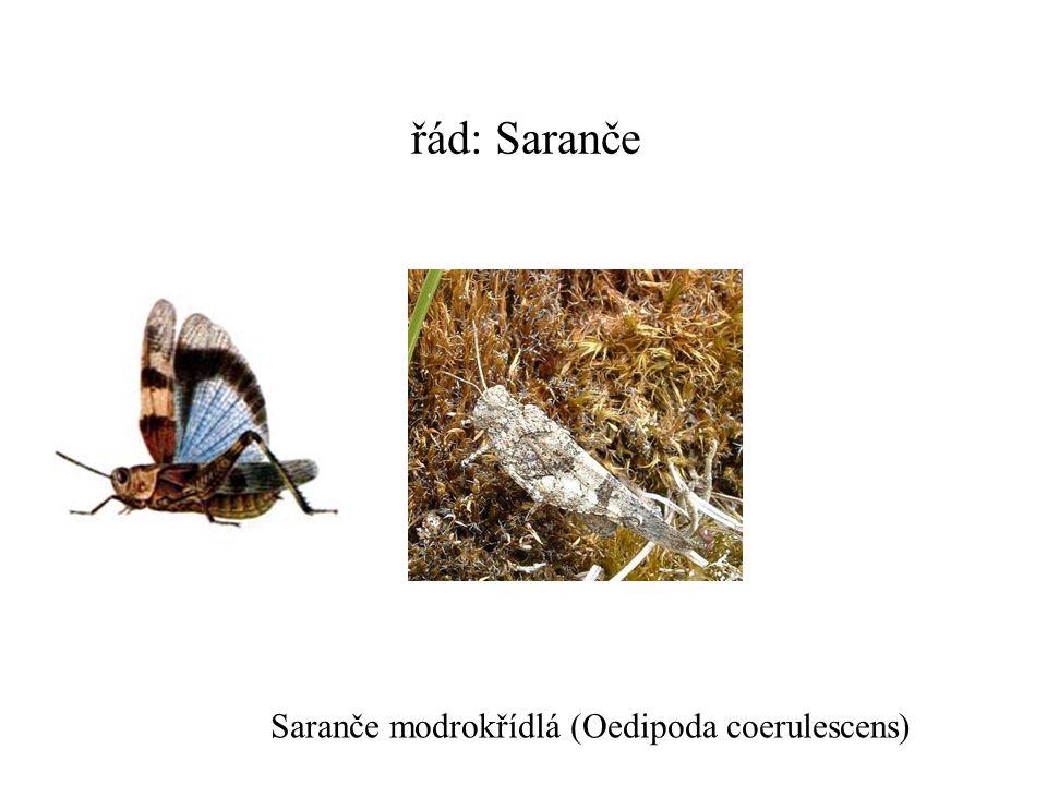 řád: Saranče Saranče modrokřídlá (Oedipoda coerulescens)