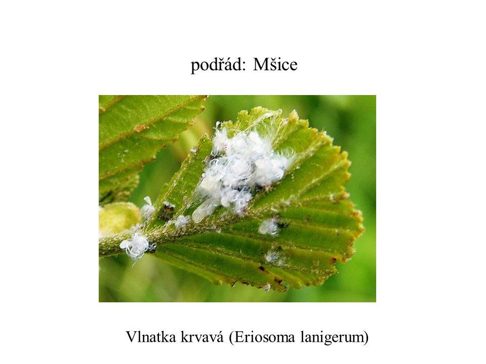 podřád: Mšice Vlnatka krvavá (Eriosoma lanigerum)