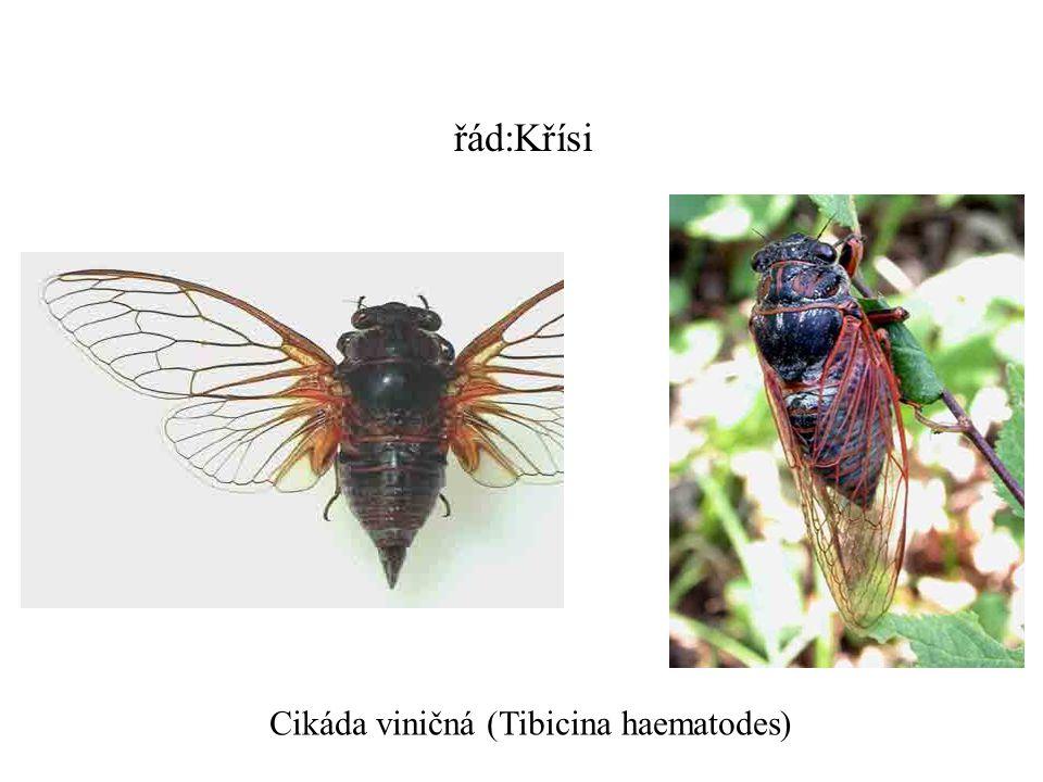 řád:Křísi Cikáda viničná (Tibicina haematodes)