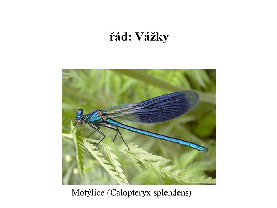 řád: Vážky Motýlice (Calopteryx splendens)