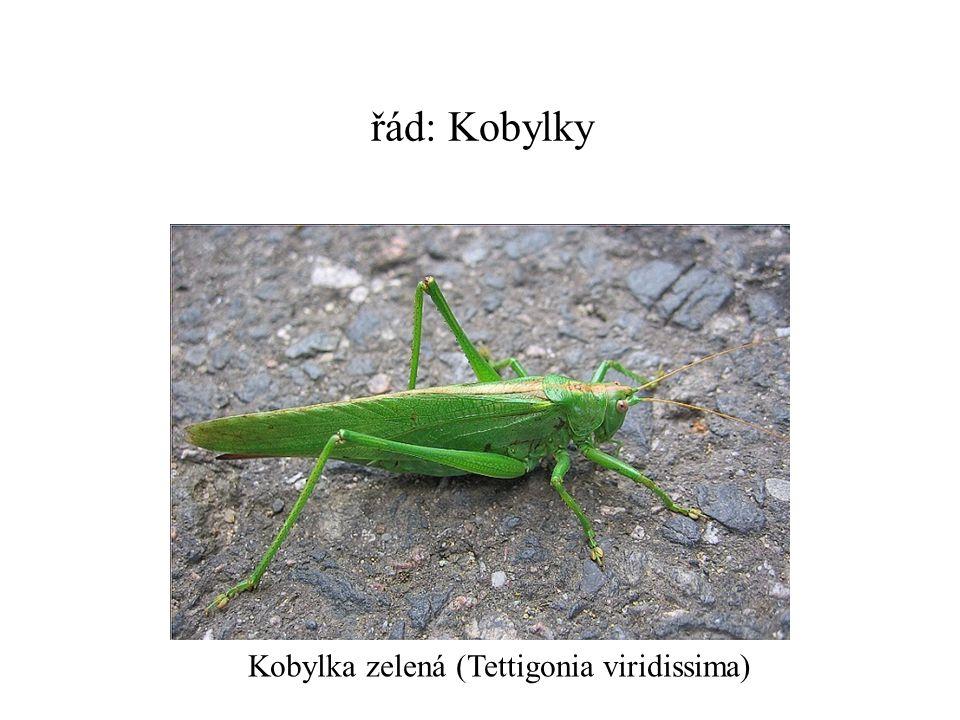 řád: Kobylky Kobylka zelená (Tettigonia viridissima)
