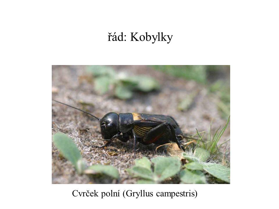 řád: Kobylky Cvrček polní (Gryllus campestris)