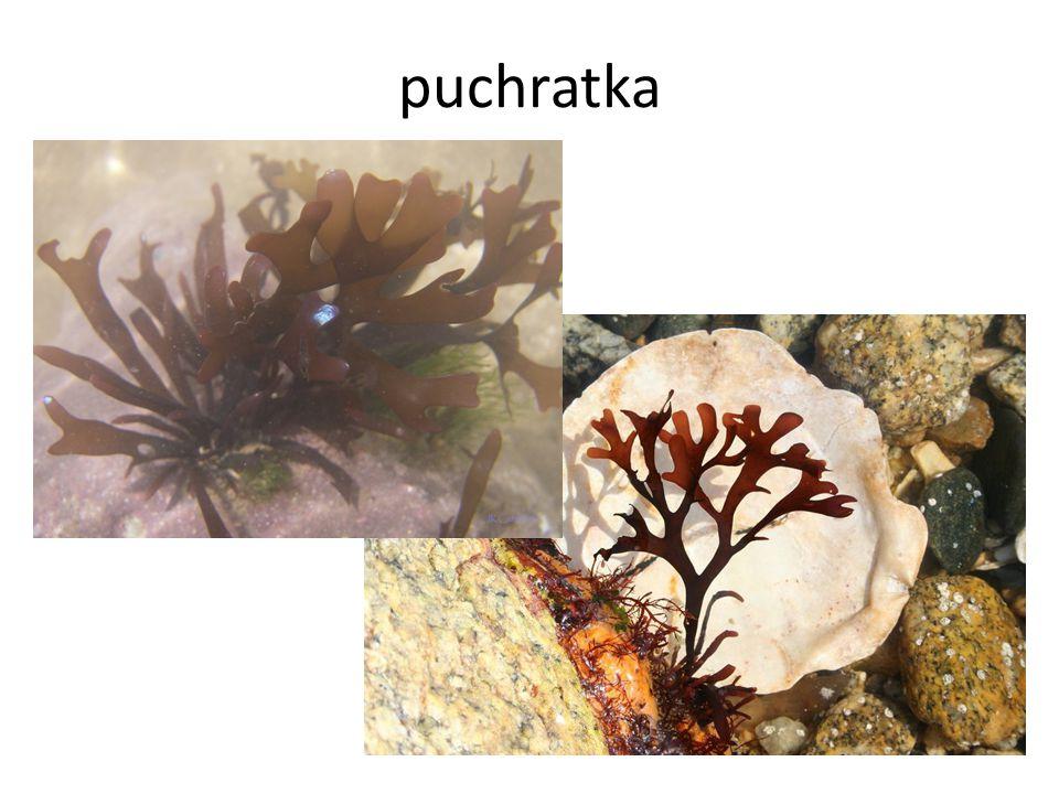 puchratka