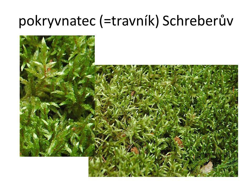 pokryvnatec (=travník) Schreberův
