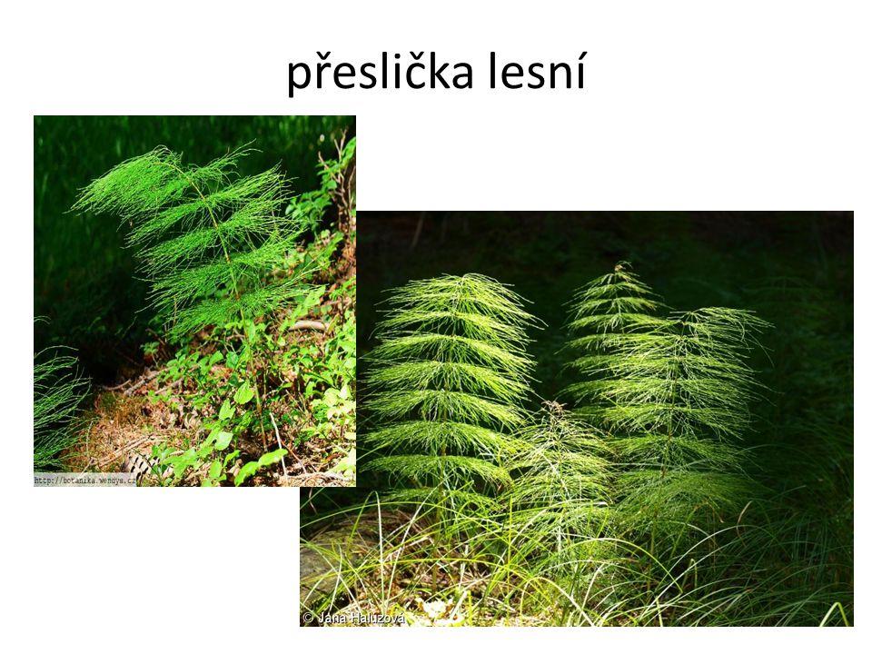 přeslička lesní