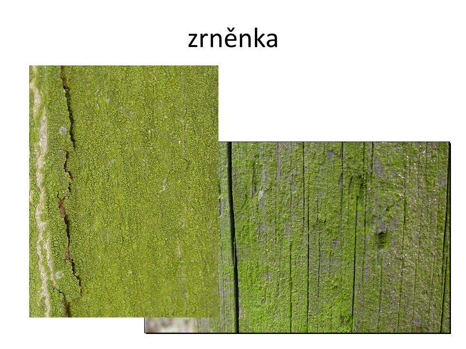 borovice kleč