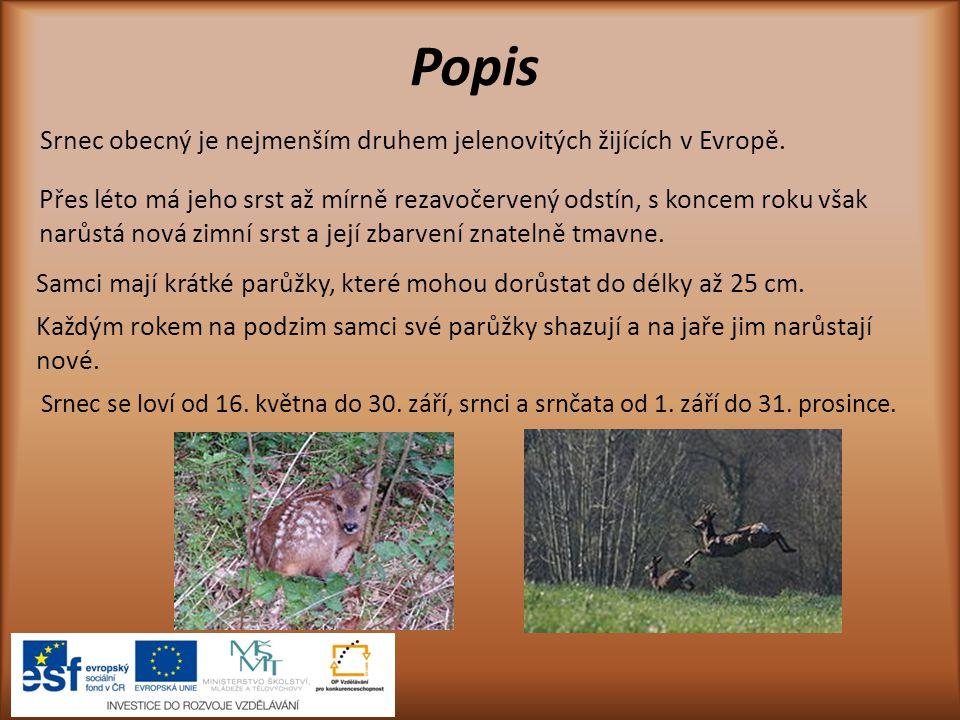 Popis Srnec obecný je nejmenším druhem jelenovitých žijících v Evropě. Přes léto má jeho srst až mírně rezavočervený odstín, s koncem roku však narůst