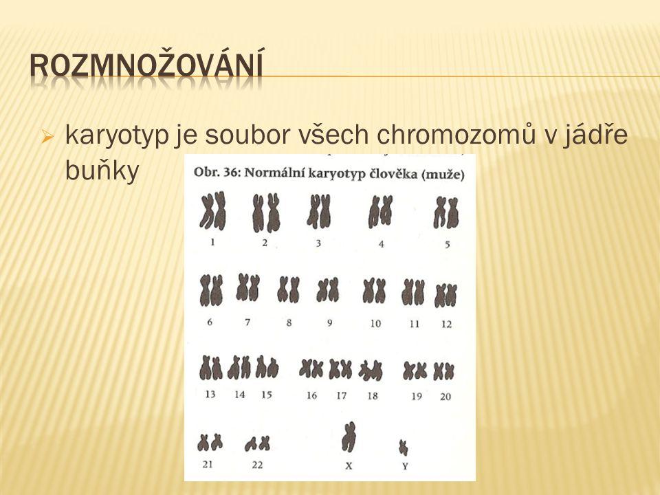  karyotyp je soubor všech chromozomů v jádře buňky