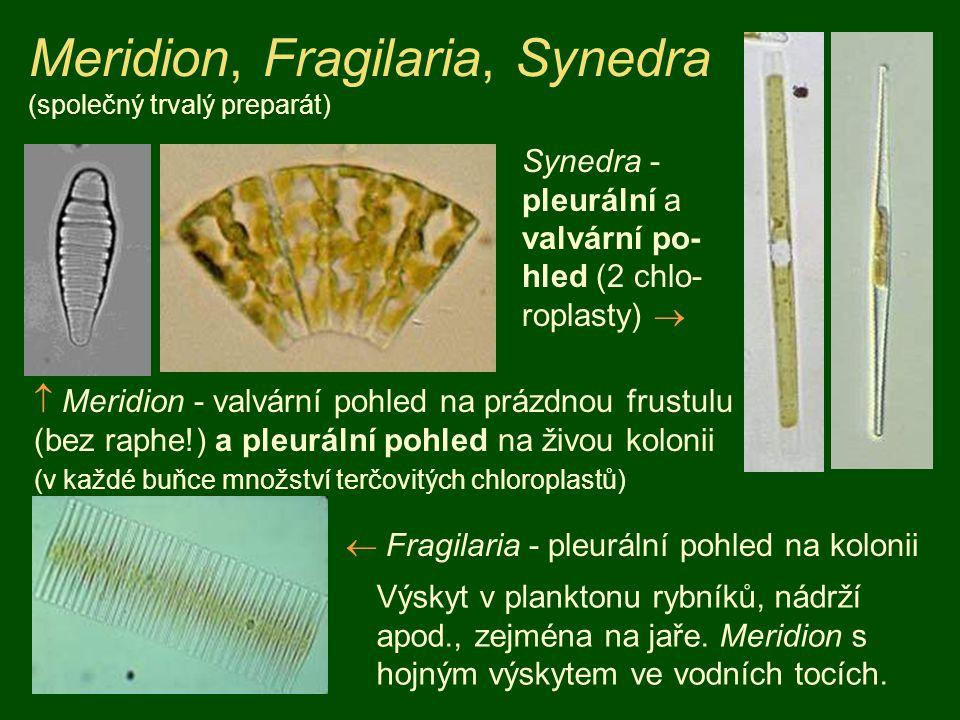 Meridion, Fragilaria, Synedra (společný trvalý preparát)  Meridion - valvární pohled na prázdnou frustulu (bez raphe!) a pleurální pohled na živou ko