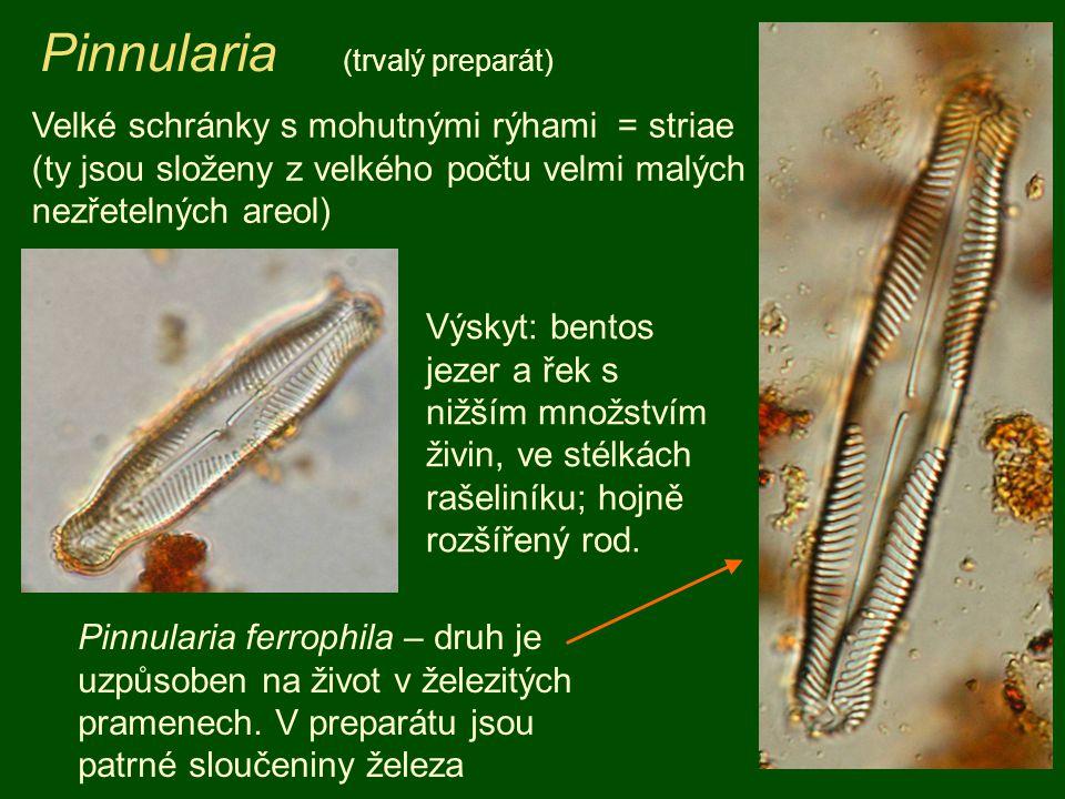 Pinnularia (trvalý preparát) Velké schránky s mohutnými rýhami = striae (ty jsou složeny z velkého počtu velmi malých nezřetelných areol) Pinnularia f