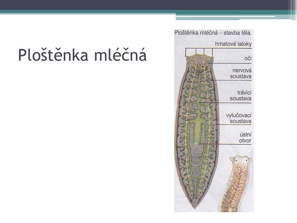 PLOŠTĚNCI - MOTOLICE Parazité Cizopasí na kůži, žábrách ryb, v dutině ústní, ve střevě, v žlučovodech jater, v cévních kapilárách Živí se krví a narušenými tkáněmi Některé žijí pouze na jednom hostiteli Jiné hostitele během vývoje střídají