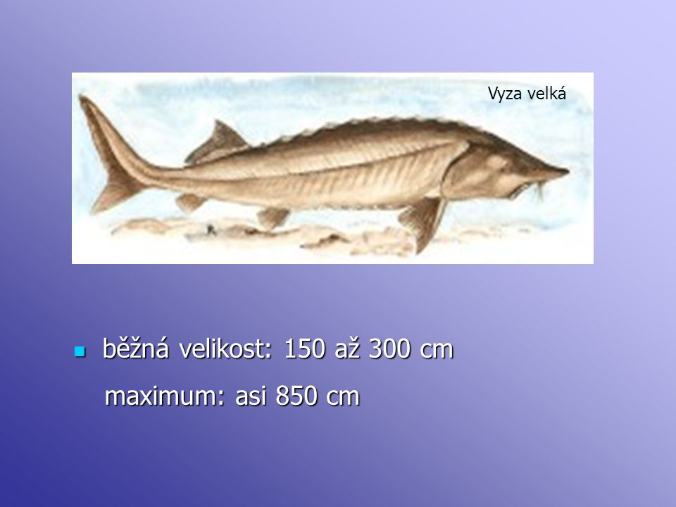 běžná velikost: 150 až 300 cm běžná velikost: 150 až 300 cm maximum: asi 850 cm maximum: asi 850 cm Vyza velká