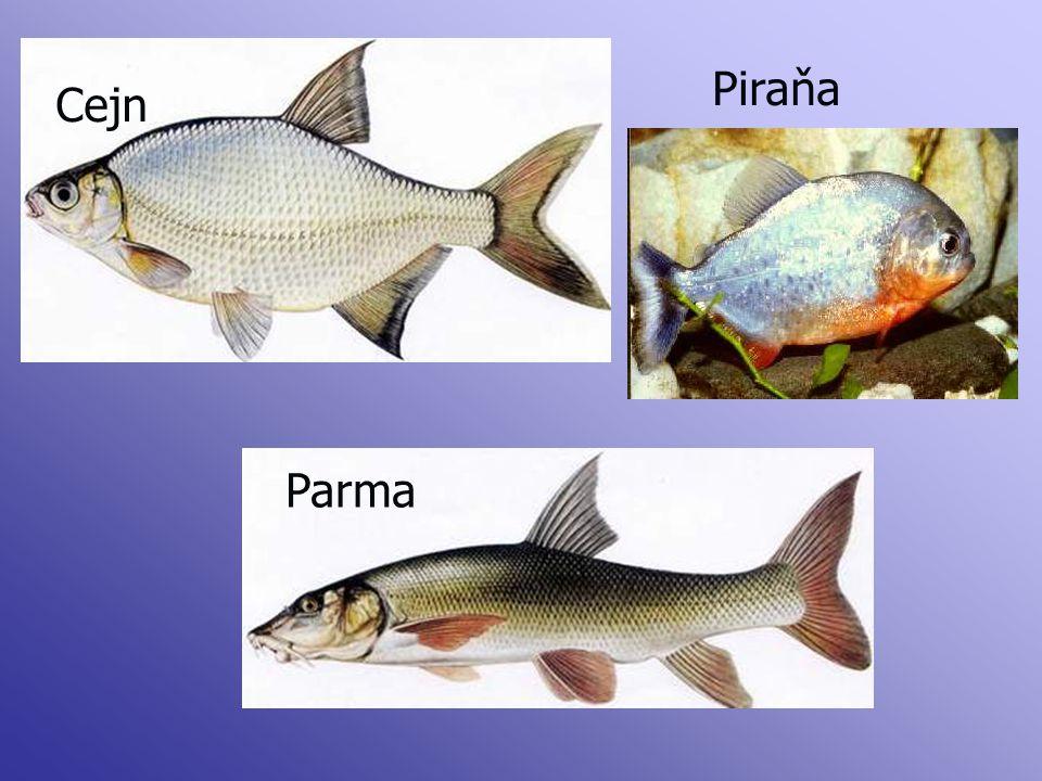 Cejn Parma Piraňa