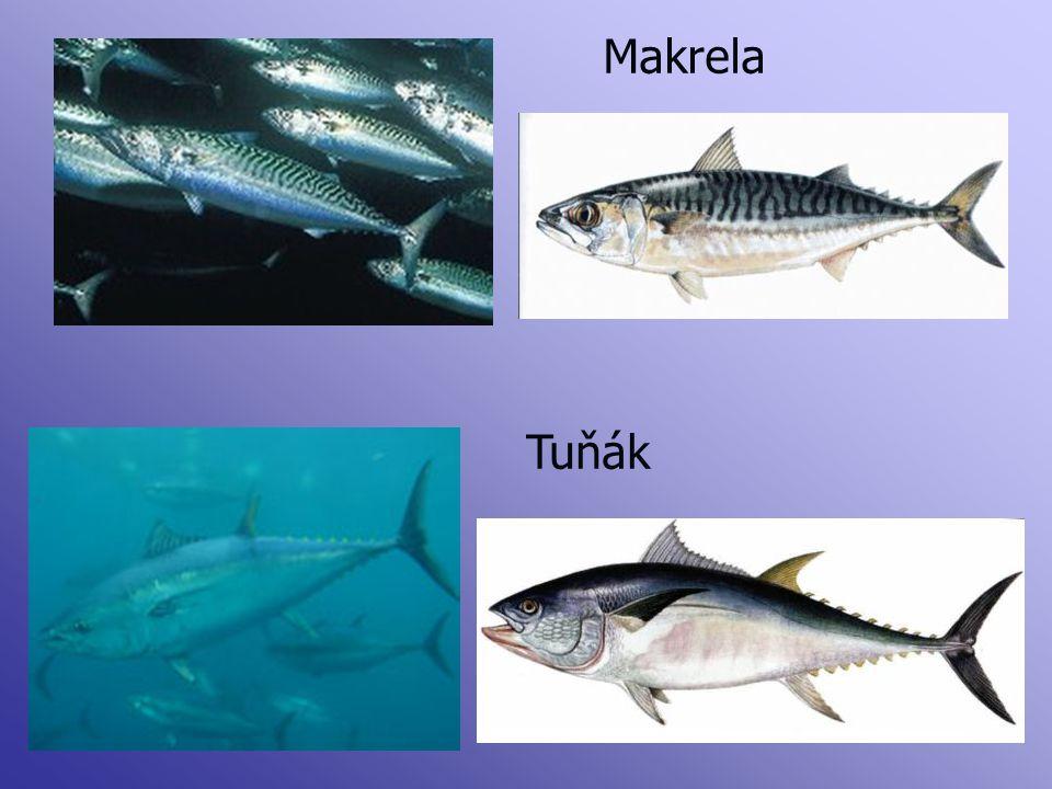 Tuňák Makrela